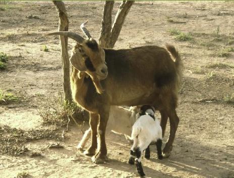 Mediante el manejo de Rebaños Comunitarios se controla la reproducción, la sanitación, el mejora- miento genético, la alimentación y las pasturas.